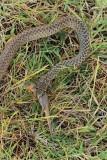 Balkan whip snake with prey belica s plenom_MG_0737-111.jpg