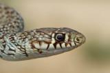 Balkan whip snake Hierophis gemonensis belica_MG_0903-111.jpg