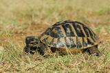 Hermann's tortoise Eurotestudo hermanni hercegovinensis gr¹ka ¾elva_MG_08471-11.jpg