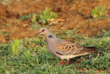turtle_dove_streptopelia_turtur