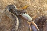 Balkan whip snake with lizard belica s ku¹èarico_MG_0702-111.jpg