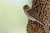 Spotted flycatcher Muscicapa striata sivi muhar_MG_0623-11.jpg