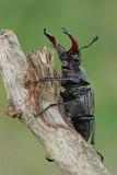 Stag beetle Lucanus cervus veliki rogaè_MG_1447-11.jpg