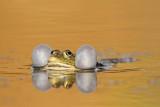 Marsh frog Pelophylax (Rana) ridibundus debeloglavka_MG_7460-111.jpg