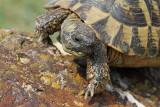 Hermann's tortoise Eurotestudo hermanni hercegovinensis grška kornjača_MG_0827-11.jpg