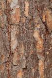 Bark of scots pine Pinus sylvestris skorja rdečega bora_MG_3778-11.jpg