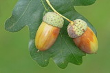 English oak  Quercus robur dob_MG_3812-11.jpg