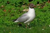 Black-headed gull Larus ridibundus reèni galeb-PICT0015-11.jpg