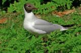 Black-headed gull Larus ridibundus reèni galeb-PICT0087-11.jpg