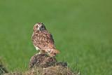 Short-eared owl Asio flammeus močvirska uharica_MG_1539-11.jpg
