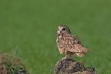 Short-eared owl Asio flammeus močvirska uharica_MG_1541-11.jpg
