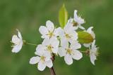 Wild cherry Prunus avium divja èe¹nja_MG_2504-11.jpg