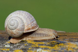 Roman snail Helix pomatia veliki vrtni pol¾_MG_2680-11.jpg