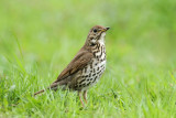 Song thrush Turdus philomelos cikovt_MG_2699-11.jpg