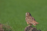 Short-eared owl Asio flammeus močvirska uharica_MG_1542-11.jpg