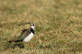 Lapwing Vanellus vanellus priba_MG_9802-11.jpg