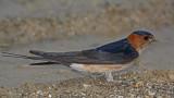 Red-rumped swallow Cecropis daurica rdeča lastovka_MG_3805-11.jpg