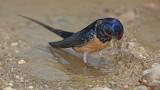 Barn swallow Hirundo rustica kmenčka lastovka_MG_3791-11.jpg