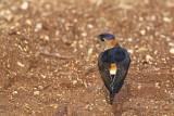 Red-rumped swallow Cecropis daurica rdeča lastovka_MG_5043-11.jpg