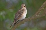 Spotted flycatcher Muscicapa striata sivi muhar_MG_5182-11.jpg