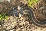 Grass snake Natrix natrix belou¹ka_MG_2539-11.jpg
