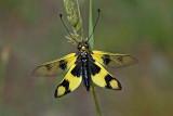 Owl-fly Libelloides macaronius metuljčnica_MG_7051-11.jpg