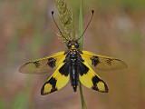 Owl-fly Libelloides macaronius metuljènica_MG_7060-11.jpg