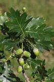 Common oak Quercus robur hrast dob_MG_9825-1.jpg