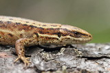 Viviparous lizard Zootoca (Lacerta) vivipara ¾ivorodna ku¹èarica_MG_2412-11.jpg