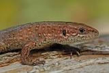 Viviparous lizard Zootoca (Lacerta) vivipara ¾ivorodna ku¹èarica_MG_2397-11.jpg