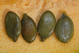 Seeds of oilseed pumpkin Cucurbita pepo buèa_MG_4382-11.jpg