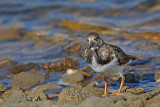 Turnstone Arenaria interpres kamenjar_MG_4699-11.jpg