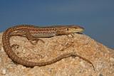 Italian wall lizard Podarcis sicula primorska ku¹èarica_MG_5115-11.jpg