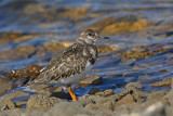 Turnstone Arenaria interpres kamenjar_MG_4701-11.jpg