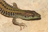 Italian wall lizard Podarcis sicula primorska ku¹èarica_MG_5111-1.jpg