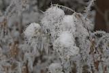 Winter flower zimska ro¾a_MG_0917-11.jpg
