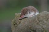 Lesser white-toothed shrew Crocidura suaveolens vrtna rovka_MG_1151-1.jpg