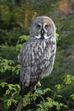 Great gray owl Strix nebulosa  bradata sova_MG_9615-11.jpg