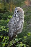 Great gray owl Strix nebulosa  bradata sova_MG_9618-11.jpg
