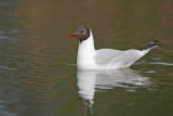 Black-headed gull Larus ridibundus reèni galeb_MG_9928-11.jpg