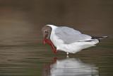 Black-headed gull Larus ridibundus reèni galeb_MG_9920-11.jpg
