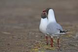 Black-headed gull Larus ridibundus reèni galeb_MG_9894-11.jpg