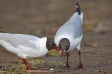 Black-headed gull Larus ridibundus reèni galeb_MG_9887-11.jpg
