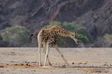 Giraffe At The Waterhole