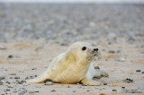 Gray Seals On The Island Of Helgoland