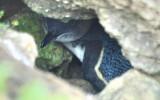 Blue Penguin.jpg