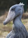 2011 Walsrode - Shoebill