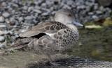 Grey Teal Duck