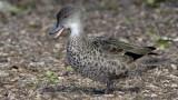 Grey Teal Duck.jpg