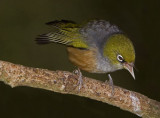 Little Bird Big Attitude - Silvereye